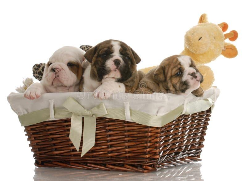 Puppy in een mand royalty-vrije stock afbeeldingen