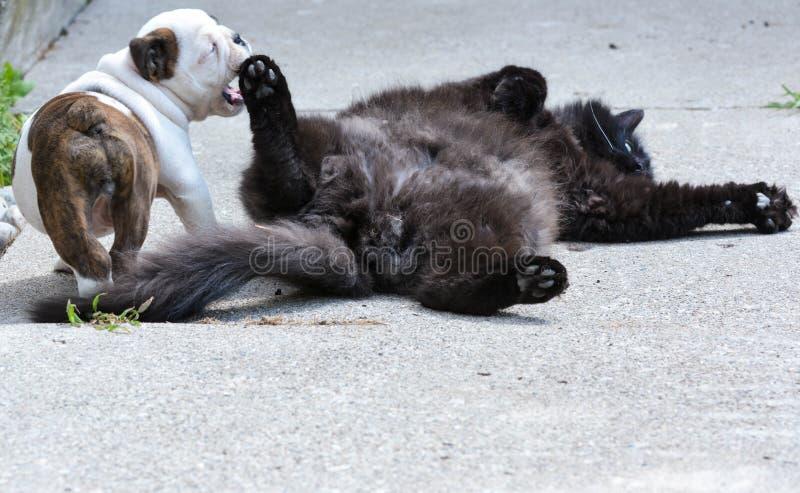 Puppy en katten het spelen royalty-vrije stock foto
