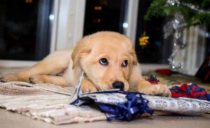 Puppy en Kerstmis stock foto's