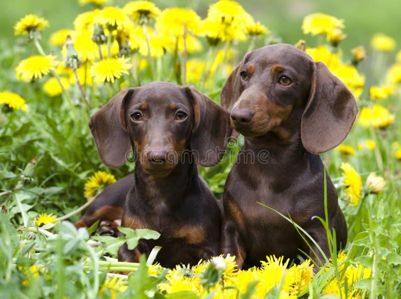 Puppy en paardebloemenbloemen stock foto