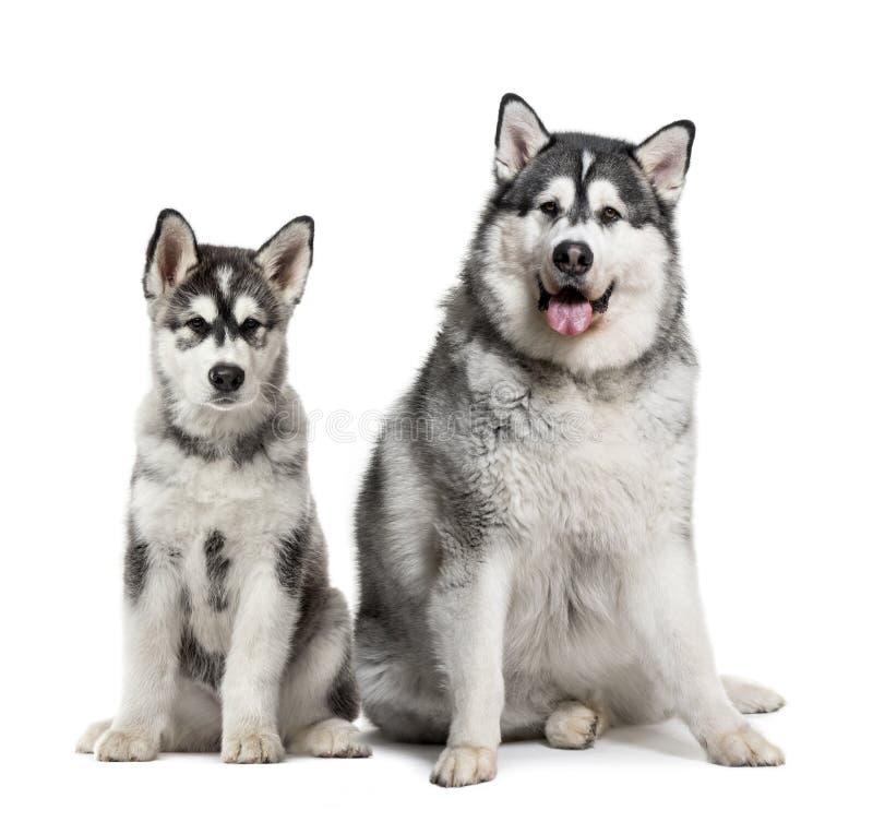 Puppy en vette volwassen Malamute-zitting Van Alaska voor witte B royalty-vrije stock afbeelding