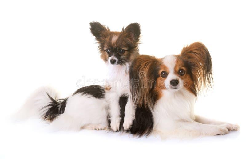 Puppy en volwassen pappillonhond royalty-vrije stock afbeelding