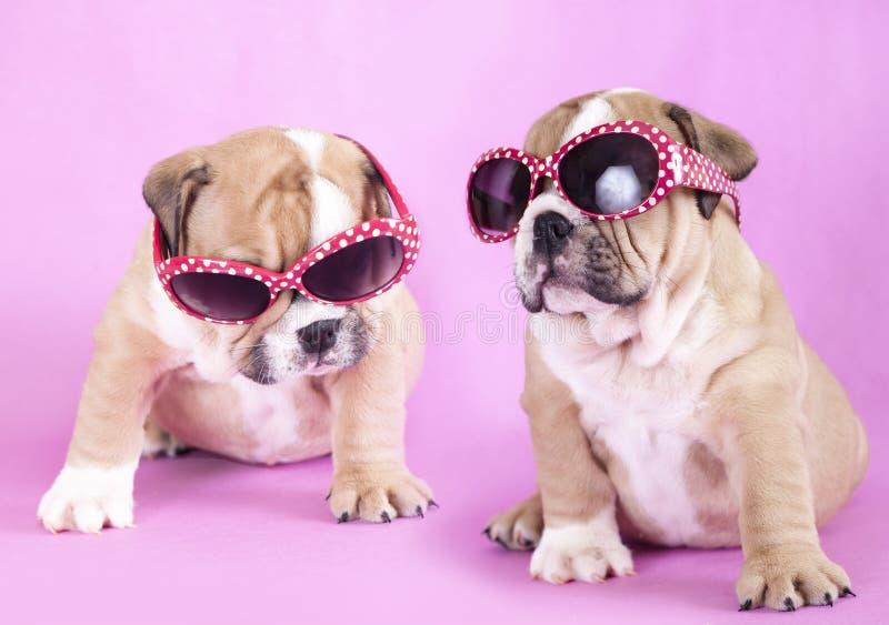 Puppy english Bulldog stock images