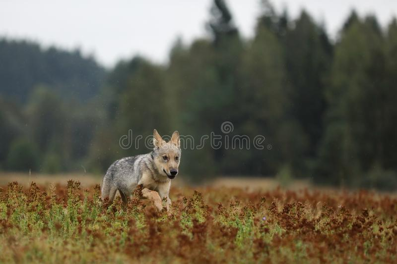 Puppy of Eurasian wolf running on colorful meadow - Canis lupus stock photo
