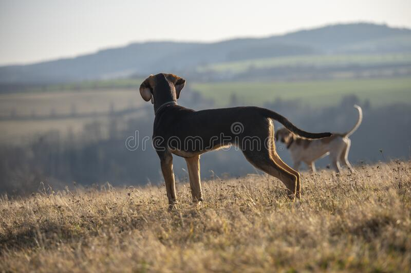 puppy of european sled dog great for mushing royalty free stock image