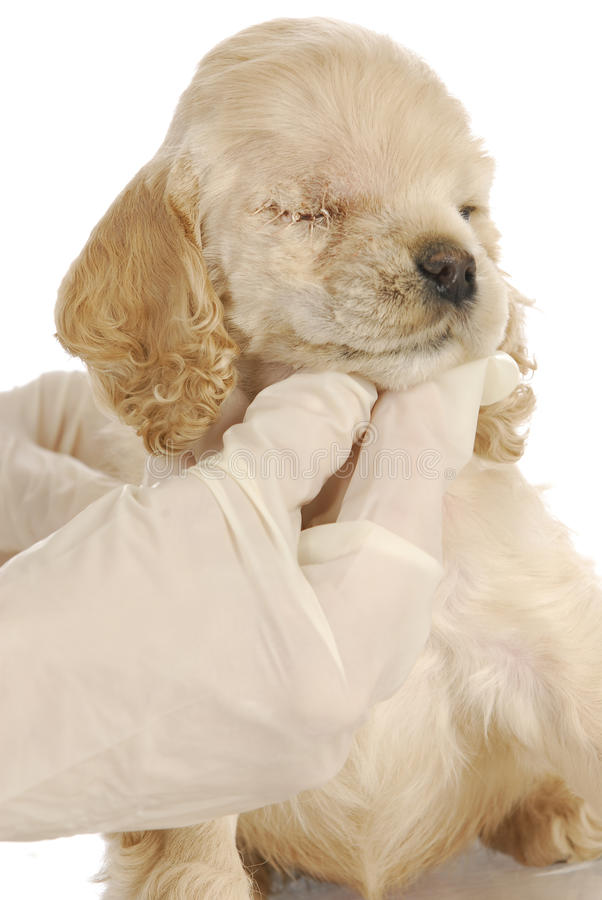Download Puppy with eye surgery stock photo. Image of american - 21696482