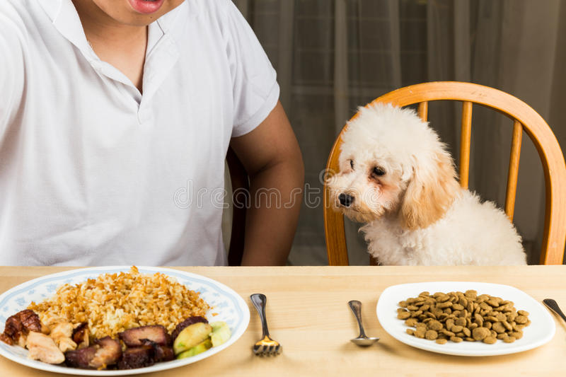 Puppy eyeing the plate of rice and meat on a teenager's plate and show no interest on her plate of kibbles royalty free stock image