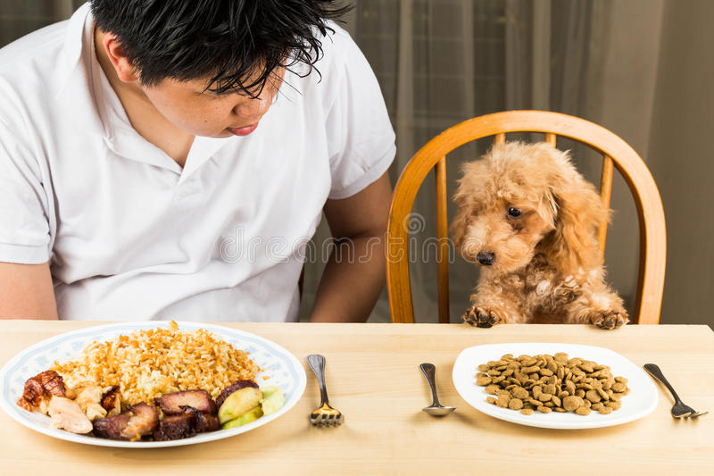 Puppy eyeing the plate of rice and meat on a teenagers plate and show no interest on her plate of kibbles stock photos