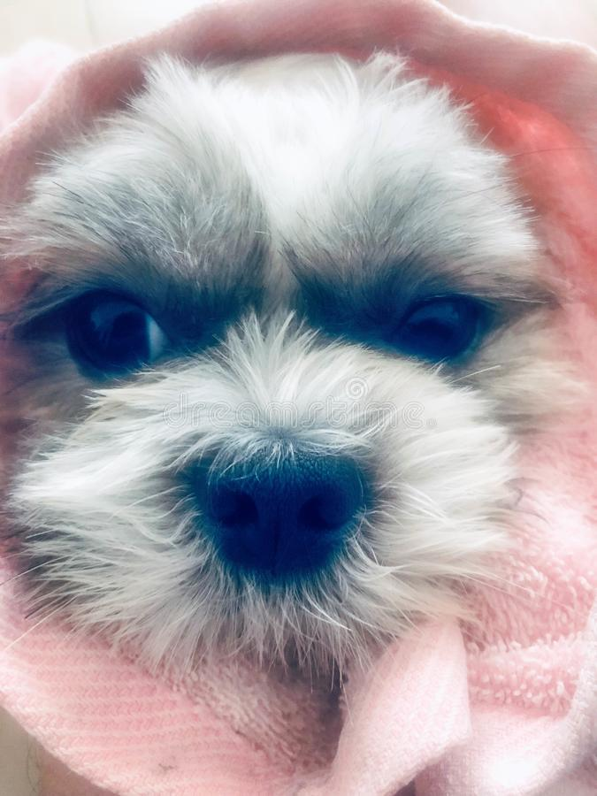 Puppy face in pink fabric stock images