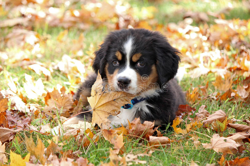 Puppy in Fall stock photo