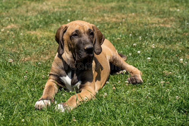 Puppy of Fila Brasileiro (Brazilian Mastiff) royalty free stock photos