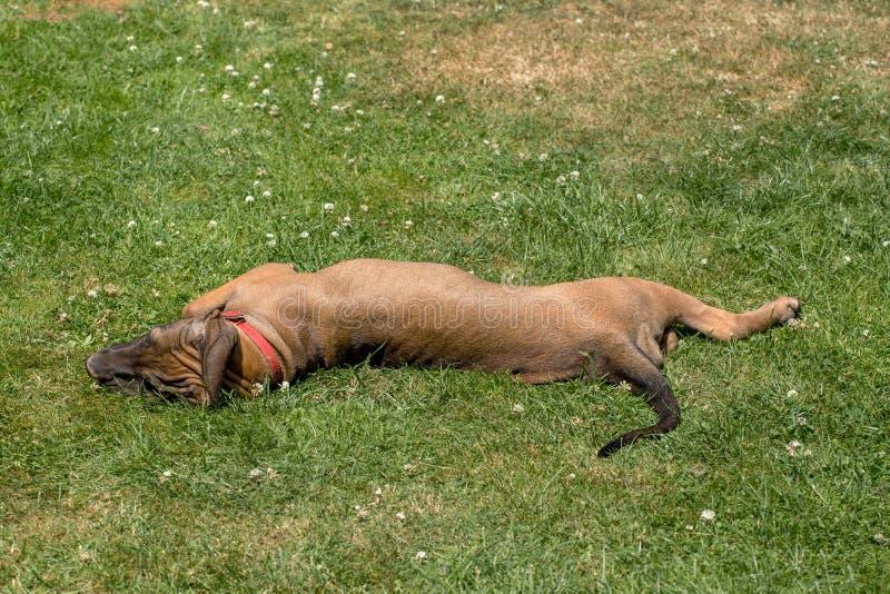 Puppy of Fila Brasileiro (Brazilian Mastiff) royalty free stock photography