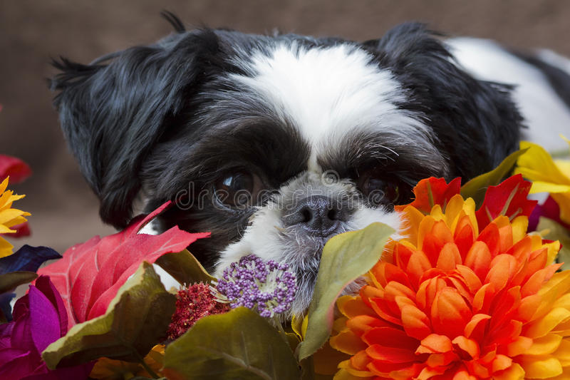 Puppy in flowers. A horizontal closeup picture of a black and white dog with floppy ears laying in bright autumn colored flowers stock photography