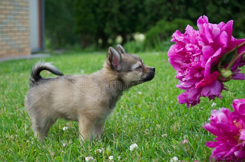 Puppy and Flowers royalty free stock photo