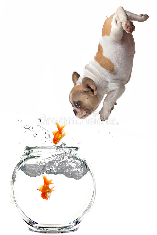 Puppy Following Jumping Goldfish Into a Fishbowl stock photography