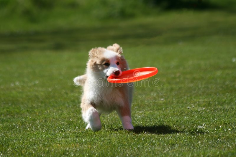 Download Puppy with frisbee stock image. Image of australian, breed - 4900675