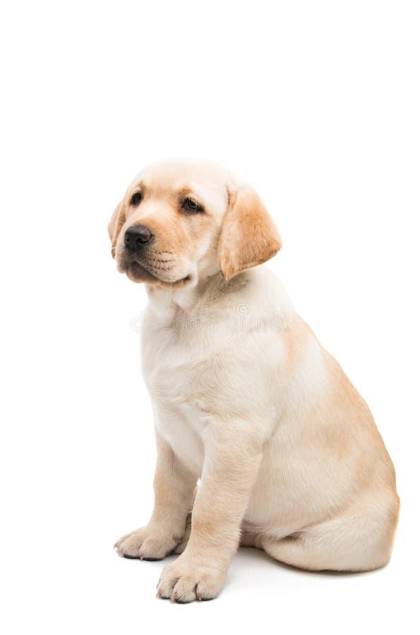 Puppy geïsoleerd Labrador stock foto