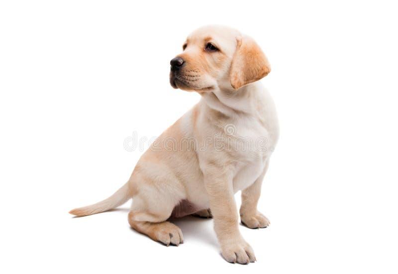 Puppy geïsoleerd Labrador royalty-vrije stock afbeeldingen