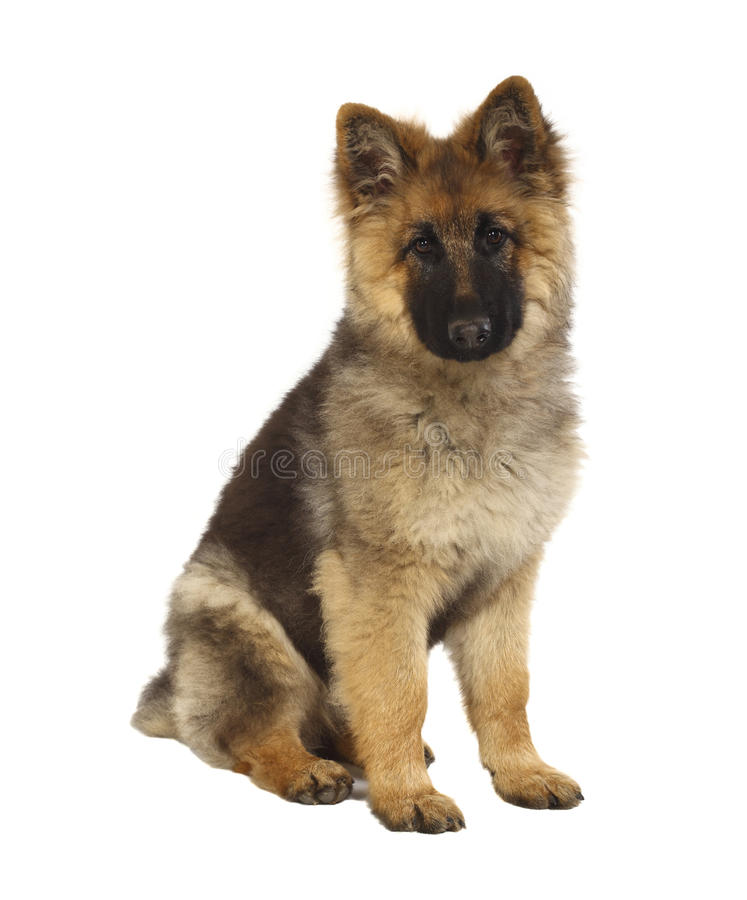 Puppy of german shepard royalty free stock images