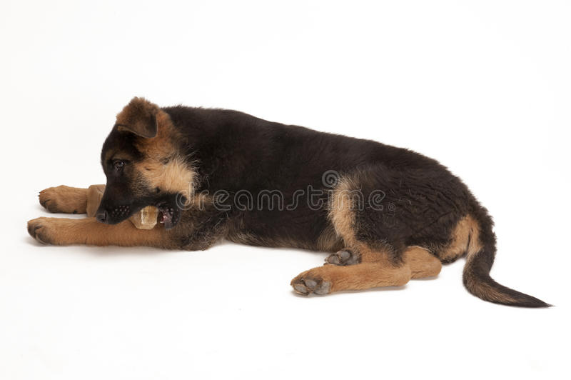 Download Puppy of German Shepherd stock image. Image of young - 24068871
