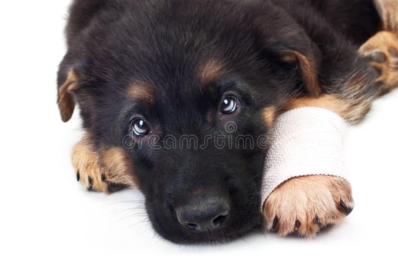 Puppy German Shepherd Dog With Bandage. Stock Image