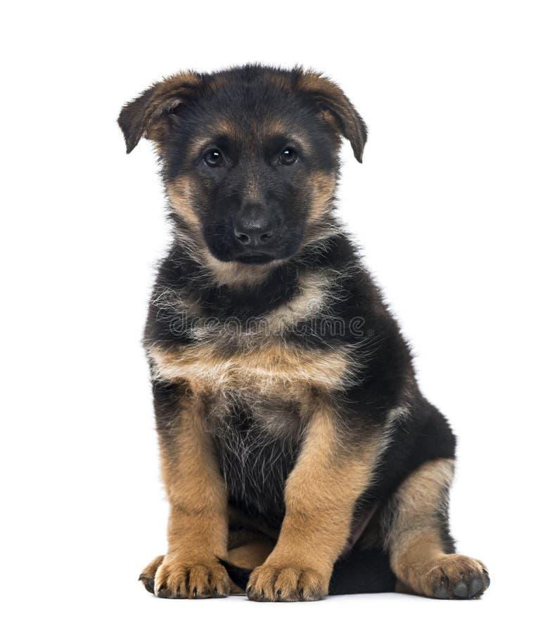 Free Puppy German Shepherd Dog Sitting, 2 Months Old Stock Photos - 89215983