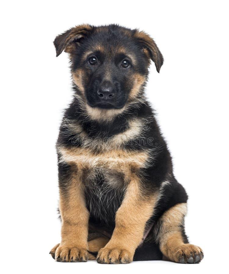 Free Puppy German Shepherd Dog Sitting, 2 Months Old Stock Image - 89216001