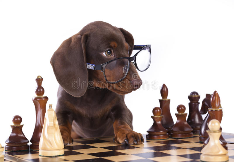 Puppy in glasses and chess royalty free stock image