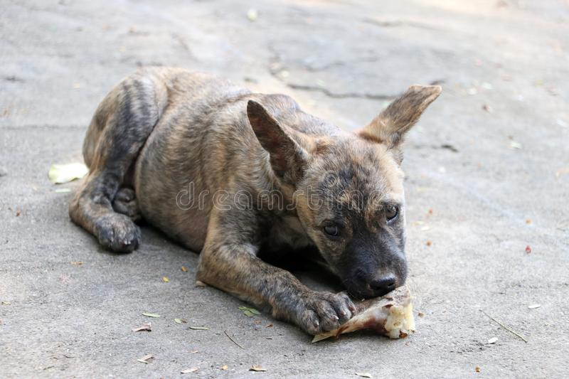 Puppy gnawing bones on the concrete floor. A young dog eating food on the floor stock images