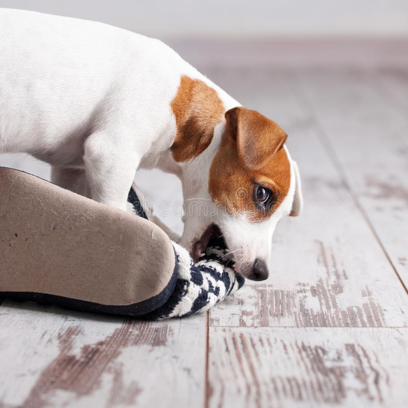 Puppy gnawing at slippers. Puppy gnawing at home slippers. Naughty pet royalty free stock photography