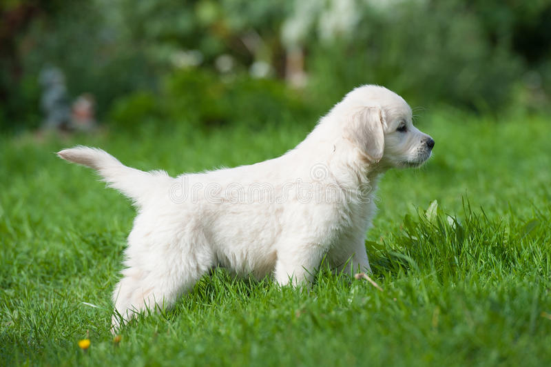 Puppy of Golden retriever royalty free stock photography