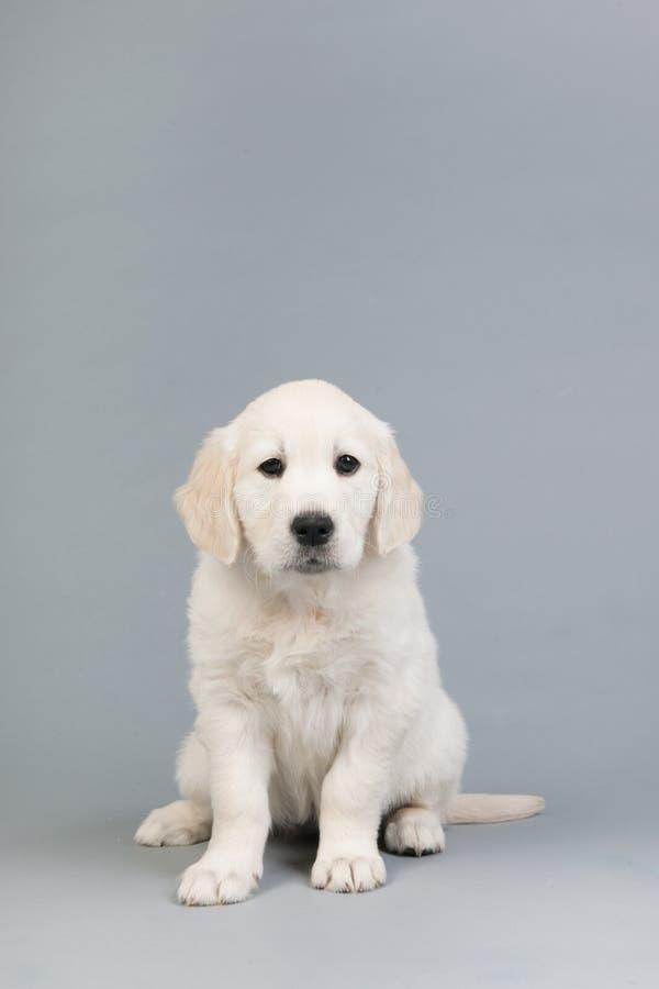 Puppy gouden retreiver stock afbeeldingen