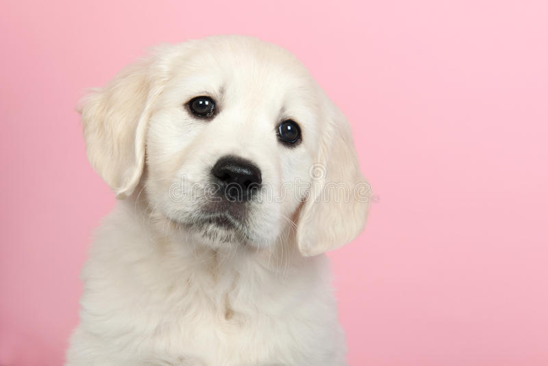 Puppy gouden retreiver royalty-vrije stock foto's