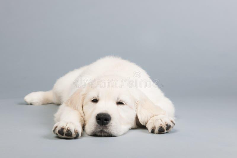 Puppy gouden retreiver royalty-vrije stock afbeeldingen