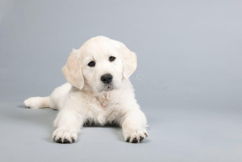 Puppy gouden retreiver stock afbeelding