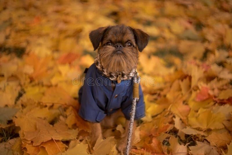 puppy griffon fechando folhagem amarela dia de outono imagem de stock
