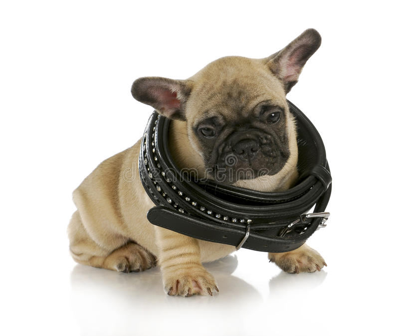 Download Puppy growth stock image. Image of bulldog, mammal, life - 26595641