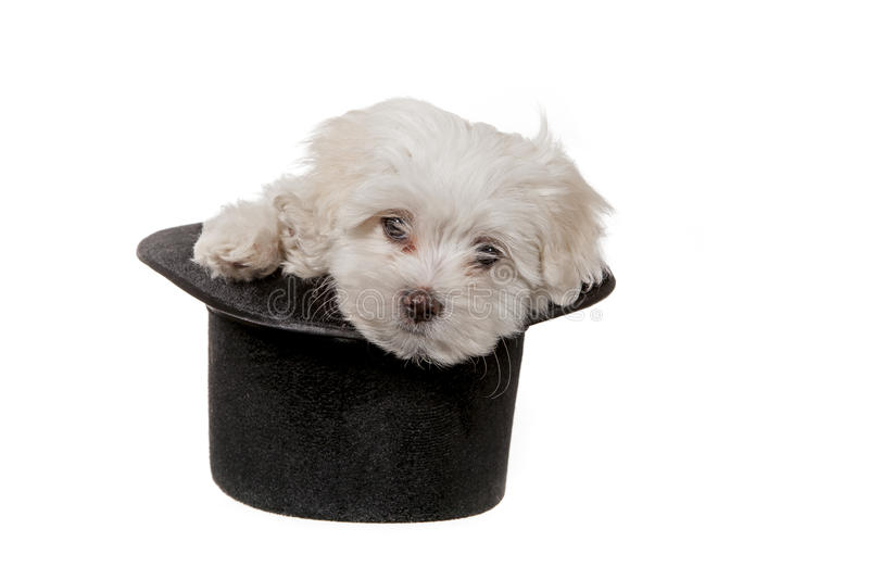 Download Puppy in a hat stock photo. Image of white, canine, domestic - 24628086