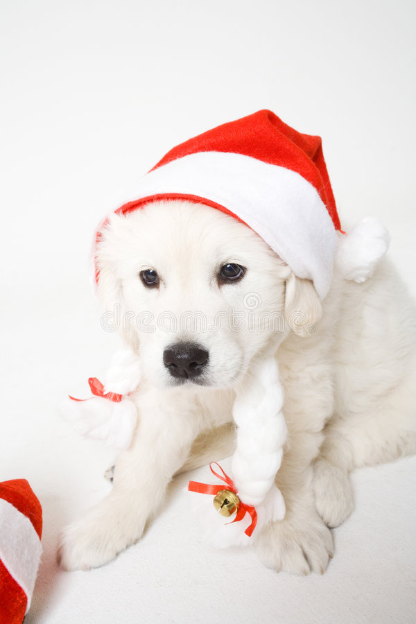 Puppy with hat royalty free stock photos