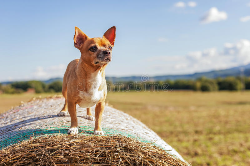 Puppy on hay bale stock images