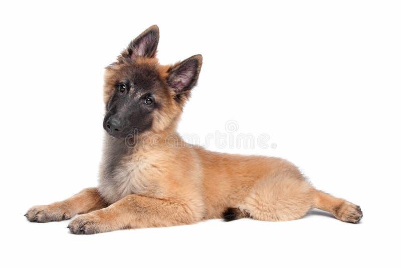 Puppy het Belgische van de Herder (Tervuren) stock afbeelding