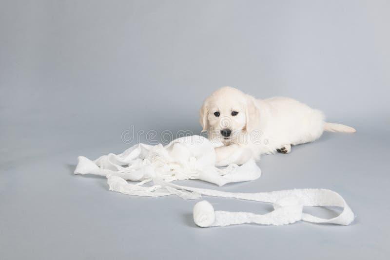 Puppy het gouden retreiverplaying met verband royalty-vrije stock foto's
