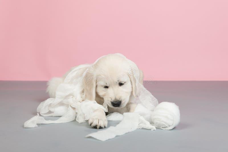 Puppy het gouden retreiverplaying met verband stock foto