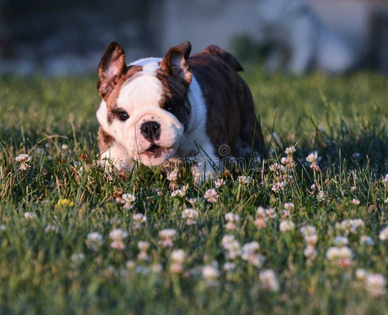 Puppy het lopen royalty-vrije stock fotografie
