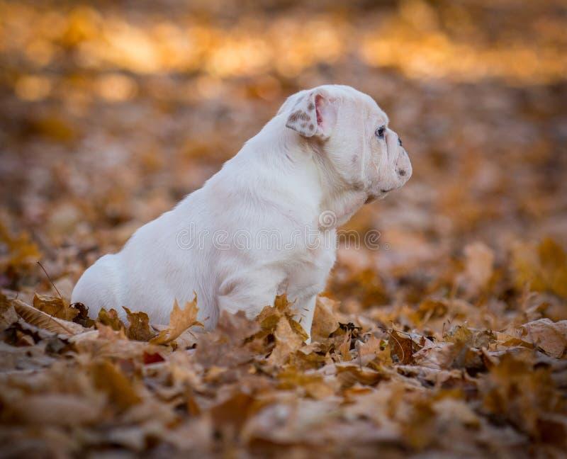 Puppy het spelen buiten in de herfst stock afbeeldingen