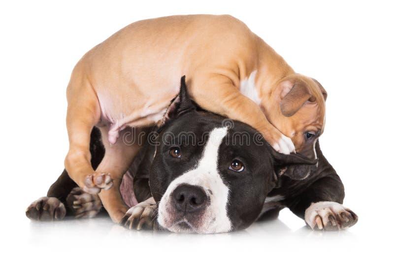 Puppy het spelen met zijn moeder royalty-vrije stock afbeelding