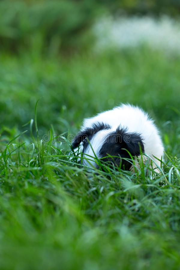 The puppy hid himself in the grass. Little cute puppies papillon on green grass royalty free stock photography