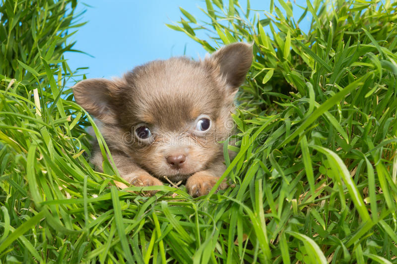 Puppy in high grass. Five weeks old chihuahua puppy in high grass royalty free stock photo