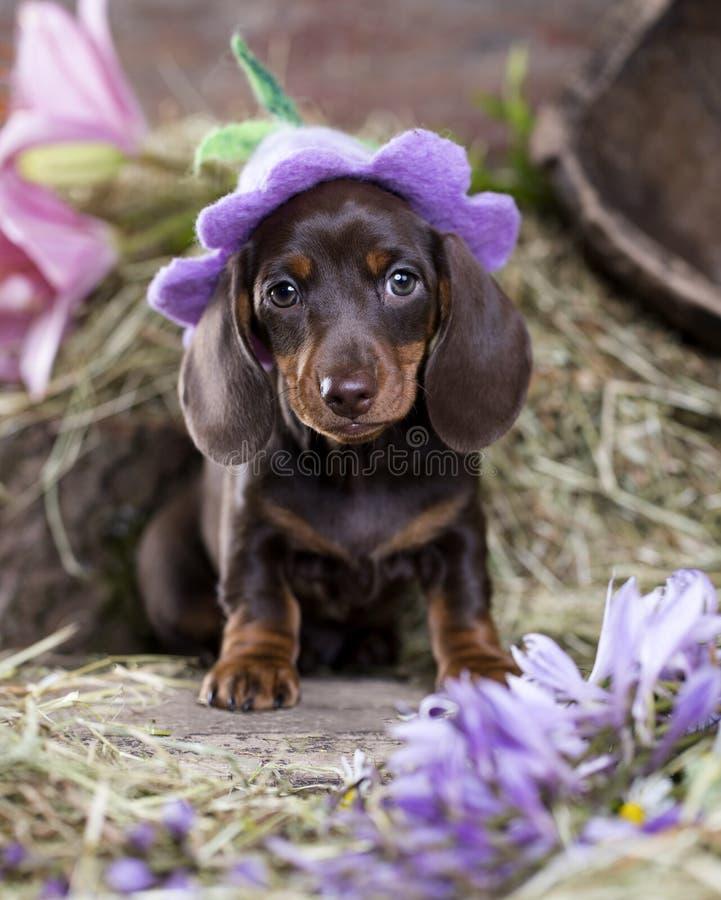 Puppy in hoed stock afbeeldingen