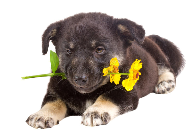 Puppy holding flower. Close-up puppy holding flower, isolated on white royalty free stock photo